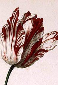 Tulip 'Sempre Augustus'